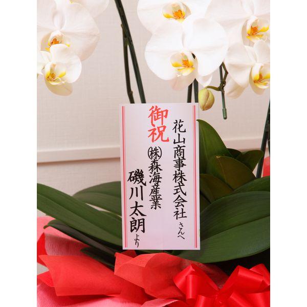 大輪胡蝶蘭紅白 3本立