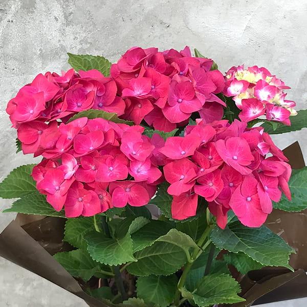 2017母の日限定(5/11~14着) BALANCE FLOWER SHOP アジサイ(鉢植え)ハンドタオル付【専用メッセージカード付】