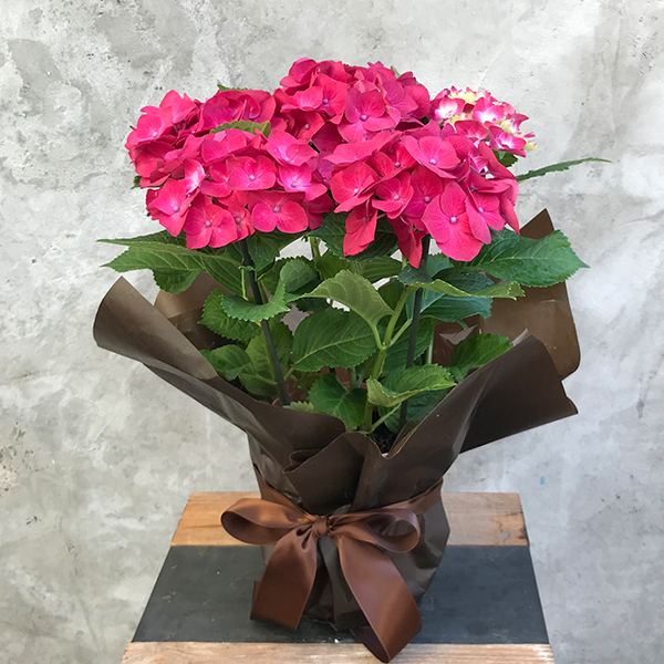 2019年母の日限定(5/9~12着) BALANCE FLOWER SHOP アジサイ Red (鉢植え)※5月6日ご注文まで