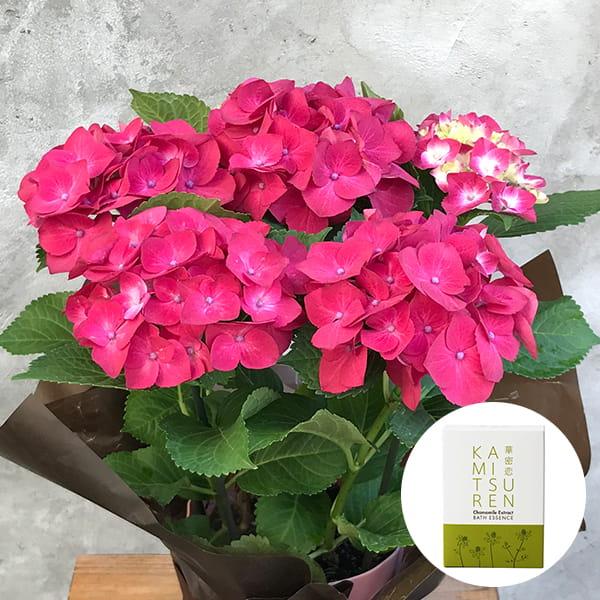2019年母の日限定(5/9~12着) BALANCE FLOWER SHOP アジサイ Red (鉢植え)華密恋 薬用入浴剤5包入 [医薬部外品]付き ※5月6日ご注文まで