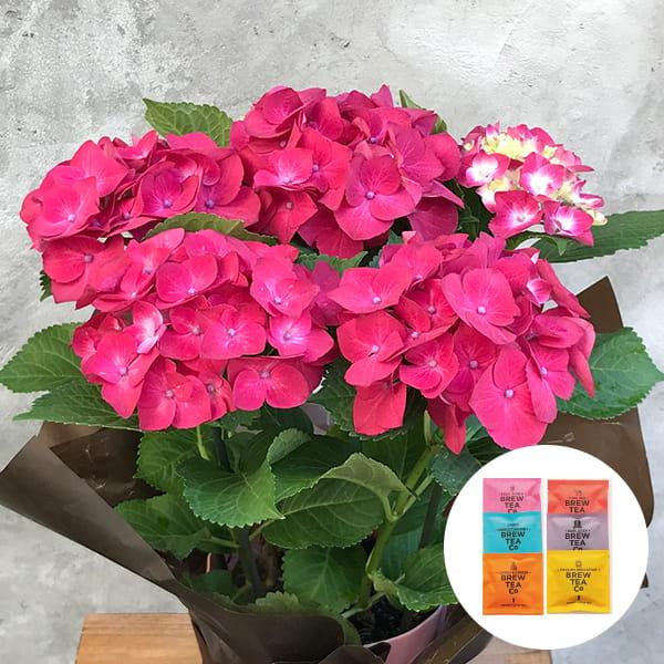 2019年母の日限定(5/9~12着) BALANCE FLOWER SHOP アジサイ Red (鉢植え)Brew Tea Co 紅茶アソート6コセット付き ※5月6日ご注文まで