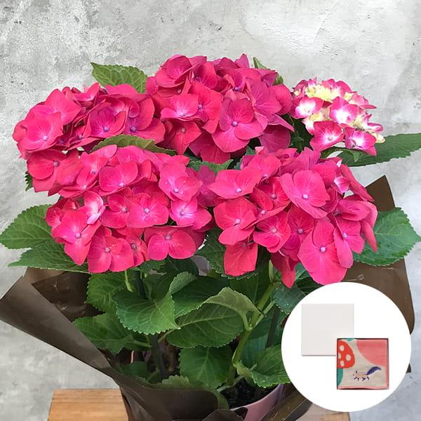 2019年母の日限定(5/9~12着) BALANCE FLOWER SHOP アジサイ Red (鉢植え)MiW ガーゼパイルハンカチ(リス) BOX入付き ※5月6日ご注文まで