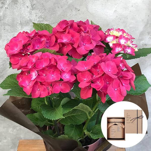 2019年母の日限定(5/9~12着) BALANCE FLOWER SHOP アジサイ Red (鉢植え)le pain boule 蜂蜜(ハニー)付き ※5月6日ご注文まで