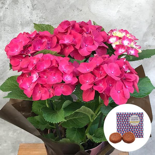 2019年母の日限定(5/9~12着) BALANCE FLOWER SHOP アジサイ Red (鉢植え)バターガレット 2枚(ギフト袋入り)付き ※5月6日ご注文まで