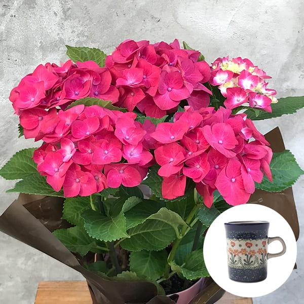 2019年母の日限定(5/9~12着) BALANCE FLOWER SHOP アジサイ Red (鉢植え)セラミカ パルテール マグカップ付き ※5月6日ご注文まで