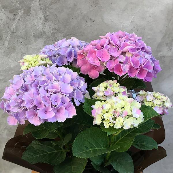 2019年母の日限定(5/9~12着) BALANCE FLOWER SHOP アジサイ Pink(鉢植え) ※5月6日ご注文まで