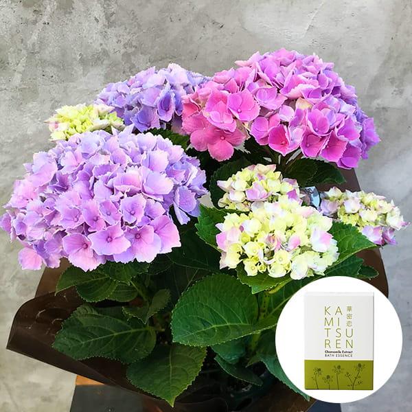 2019年母の日限定(5/9~12着) BALANCE FLOWER SHOP アジサイ Pink(鉢植え)華密恋 薬用入浴剤5包入 [医薬部外品]付き ※5月6日ご注文まで