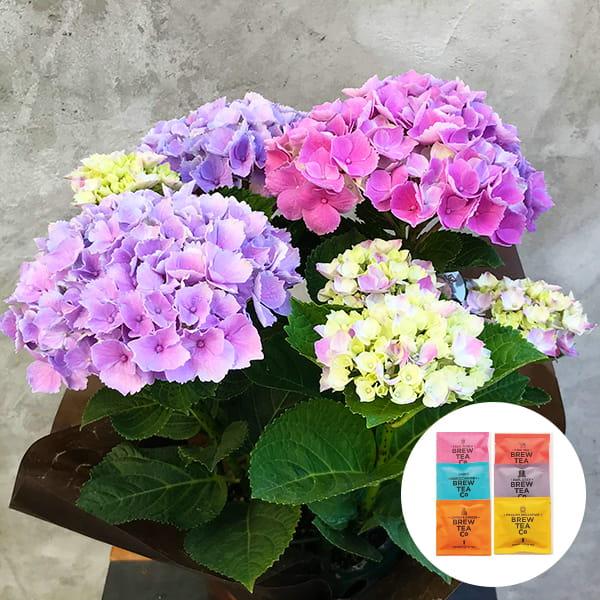 2019年母の日限定(5/9~12着) BALANCE FLOWER SHOP アジサイ Pink(鉢植え)Brew Tea Co 紅茶アソート6コセット付き ※5月6日ご注文まで