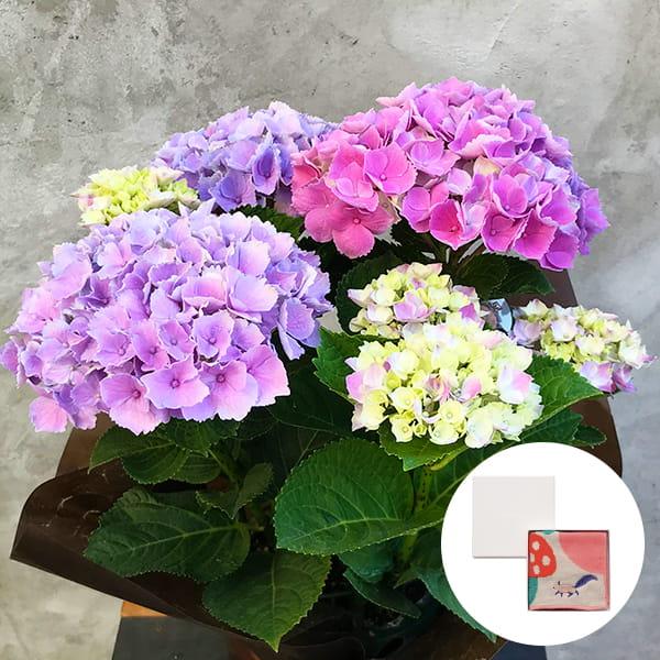 2019年母の日限定(5/9~12着) BALANCE FLOWER SHOP アジサイ Pink(鉢植え)MiW ガーゼパイルハンカチ(リス) BOX入付き ※5月6日ご注文まで