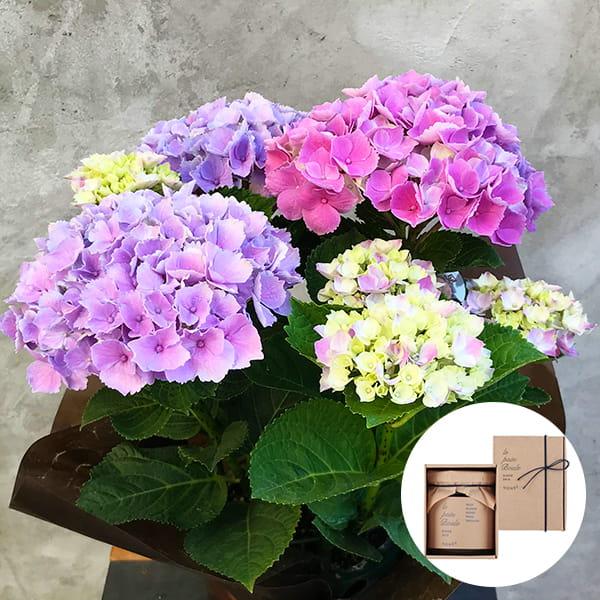 2019年母の日限定(5/9~12着) BALANCE FLOWER SHOP アジサイ Pink(鉢植え)le pain boule 蜂蜜(ハニー)付き ※5月6日ご注文まで