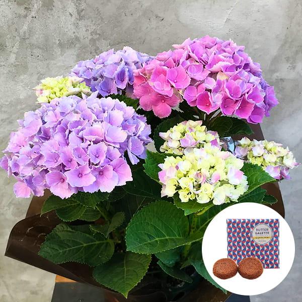 2019年母の日限定(5/9~12着) BALANCE FLOWER SHOP アジサイ Pink(鉢植え)バターガレット 2枚(ギフト袋入り)付き ※5月6日ご注文まで