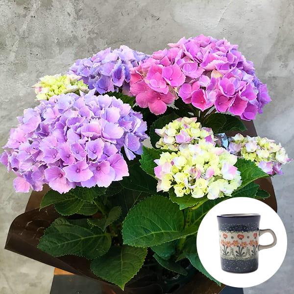2019年母の日限定(5/9~12着) BALANCE FLOWER SHOP アジサイ Pink(鉢植え)セラミカ パルテール マグカップ付き ※5月6日ご注文まで