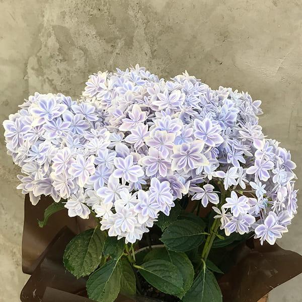 2019年母の日限定(5/9~12着) BALANCE FLOWER SHOP アジサイ 万華鏡 (鉢植え)※5月6日ご注文まで