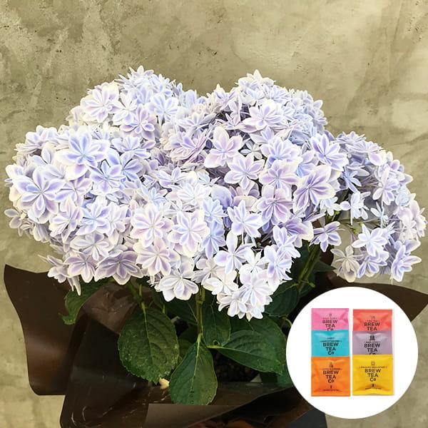 2019年母の日限定(5/9~12着) BALANCE FLOWER SHOP アジサイ 万華鏡 (鉢植え)Brew Tea Co 紅茶アソート6コセット付き ※5月6日ご注文まで
