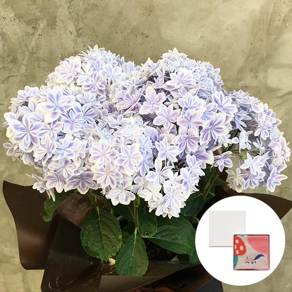 2019年母の日限定(5/9~12着) BALANCE FLOWER SHOP アジサイ 万華鏡 (鉢植え)MiW ガーゼパイルハンカチ(リス) BOX入付き ※5月6日ご注文まで