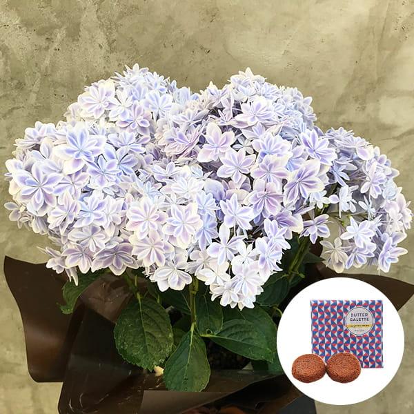 2019年母の日限定(5/9~12着) BALANCE FLOWER SHOP アジサイ 万華鏡 (鉢植え)バターガレット 2枚(ギフト袋入り)付き ※5月6日ご注文まで