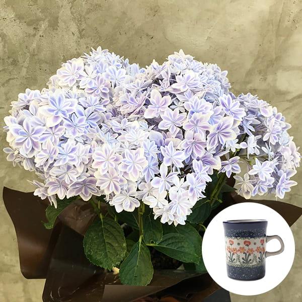 2019年母の日限定(5/9~12着) BALANCE FLOWER SHOP アジサイ 万華鏡 (鉢植え)セラミカ パルテール マグカップ付き ※5月6日ご注文まで