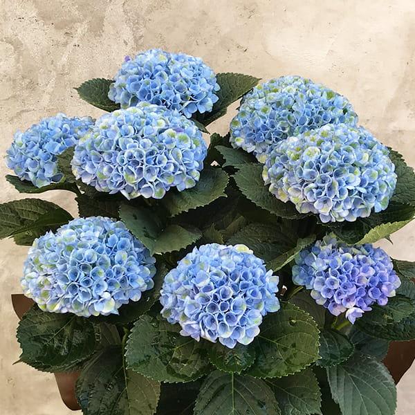 2019年母の日限定(5/9~12着) BALANCE FLOWER SHOP アジサイ Blue (鉢植え) ※5月6日ご注文まで