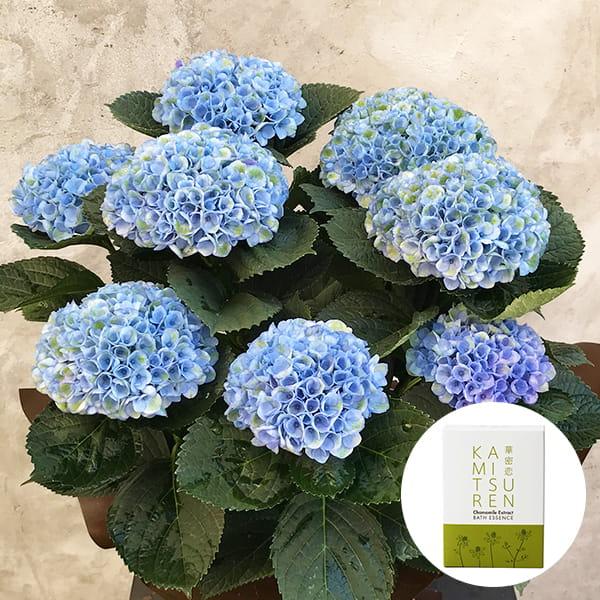 2019年母の日限定(5/9~12着) BALANCE FLOWER SHOP アジサイ Blue (鉢植え)華密恋 薬用入浴剤5包入 [医薬部外品]付き ※5月6日ご注文まで