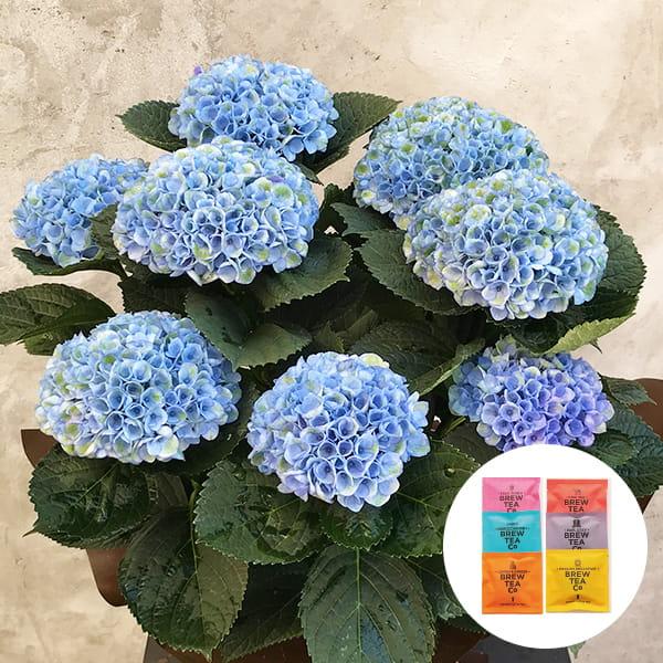 2019年母の日限定(5/9~12着) BALANCE FLOWER SHOP アジサイ Blue (鉢植え)Brew Tea Co 紅茶アソート6コセット付き ※5月6日ご注文まで