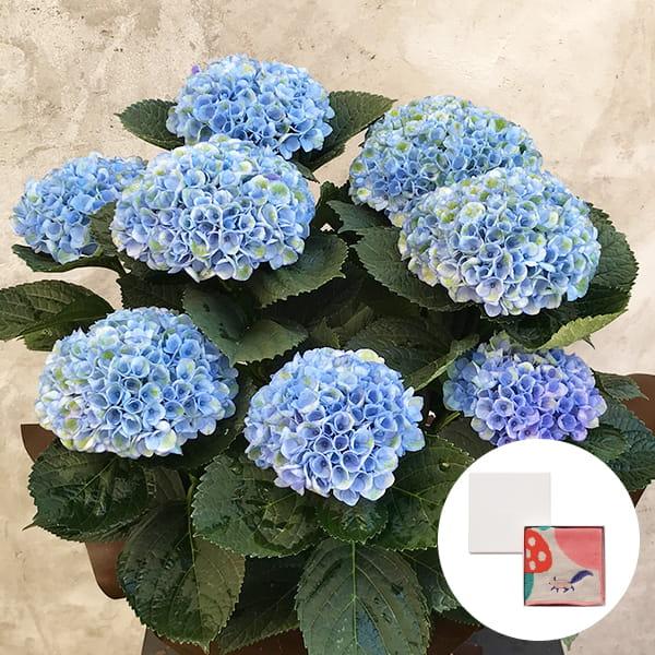 2019年母の日限定(5/9~12着) BALANCE FLOWER SHOP アジサイ Blue (鉢植え)MiW ガーゼパイルハンカチ(リス) BOX入付き ※5月6日ご注文まで