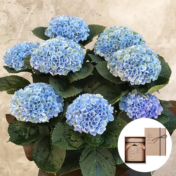 2019年母の日限定(5/9~12着) BALANCE FLOWER SHOP アジサイ Blue (鉢植え)le pain boule 蜂蜜(ハニー)付き ※5月6日ご注文まで
