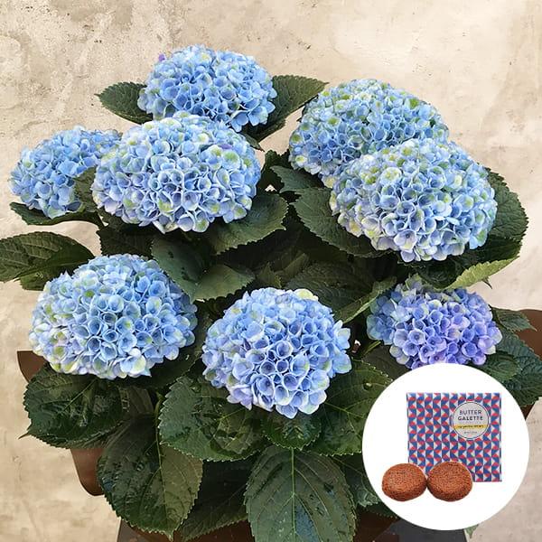 2019年母の日限定(5/9~12着) BALANCE FLOWER SHOP アジサイ Blue (鉢植え)バターガレット 2枚(ギフト袋入り)付き ※5月6日ご注文まで