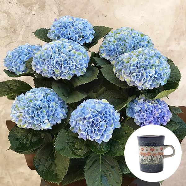 2019年母の日限定(5/9~12着) BALANCE FLOWER SHOP アジサイ Blue (鉢植え)セラミカ パルテール マグカップ付き ※5月6日ご注文まで
