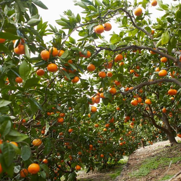 小南農園 / 実りの収穫4種の柑橘ジュース飲み比べセット*