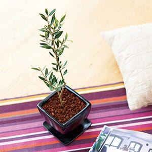オリーブ陶器鉢植え(鉢皿付)